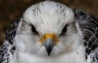 За балобана ответишь: крымчанин обвиняется в незаконных добыче и содержании краснокнижных птиц