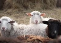 Овцы, розы, зерновые: каковы перспективы сельского хозяйства Крыма