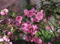 В Керчи цветет низкорослый декоративный персик
