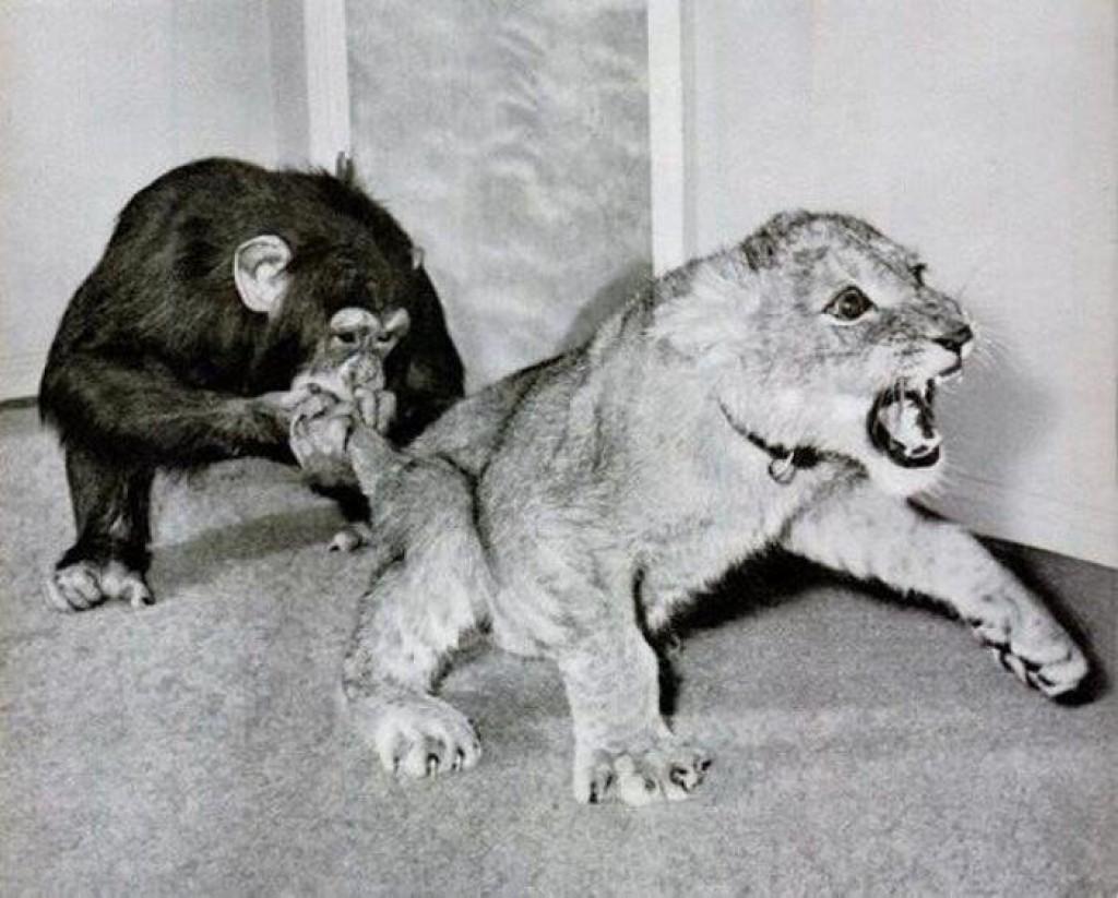Смешные картинки обезьяна и лев