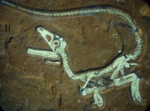 В Германии нашли останки пернатого динозавра с «беличьим хвостом»