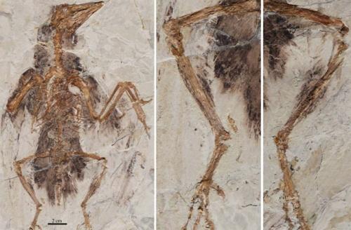 Первые птицы – четырёхкрылые существа