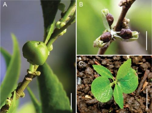 На Филиппинах обнаружено растение, поедающее металл