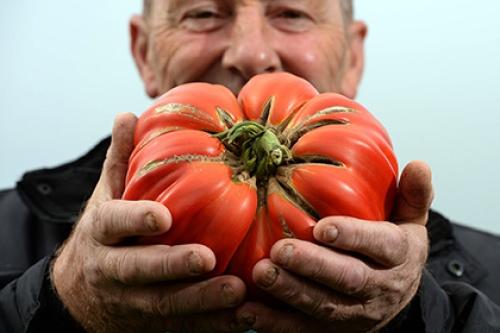 Генетики  нашли способ получения овощей-гигантов