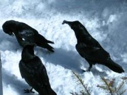 Вороны общаются языком жестов
