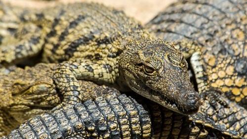 """Крокодилы могут спать """"отключив"""" при этом лишь половину мозга"""