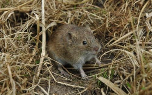 Мыши-полевки способны проявлять сострадание