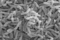 Объяснено превращение безобидных бактерий в смертоносные