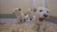 Детский парк Симферополя в новогодние праздники подарит посетителям возможность сфотографироваться с двухмесячными львятами