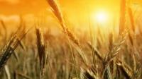 Супер-урожайная пшеница, выращенная учеными Оксфордского университета, может произвести революцию в сельском хозяйстве