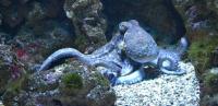 Геном осьминогов оказался таким сложным, что ученые назвали их инопланетянами