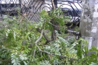 В Ялте активизируют работу по сносу аварийных деревьев