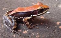 Южно-индийская лягушка выделяет слизь, которая необъяснимым образом убивает вирусы гриппа