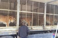 В центре Симферополя жители города могли бесплатно увидеть тигров в клетках
