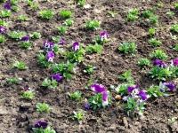 В Ялте на клумбы высадят еще 16 тысяч цветов