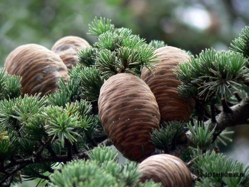 В Севастополе в рамках акции «Динамовский лес» высадили гималайские кедры