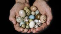 Ученые объяснили форму птичьих яиц